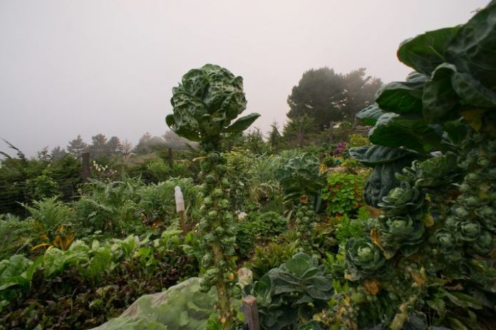 how to plant brussel sprouts and how to grow brussel sprouts