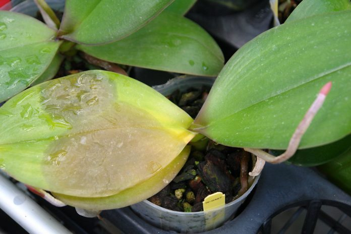 why are my orchid leaves turning yellow