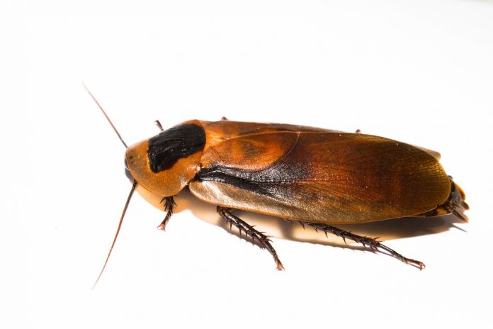 why do i have roaches in my clean house